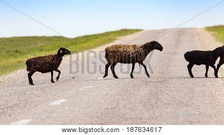 A herd of rams cross the road .