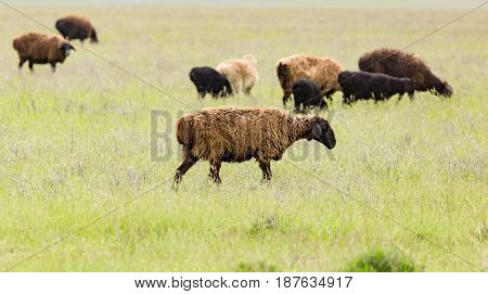 Ram in the pasture in the spring .