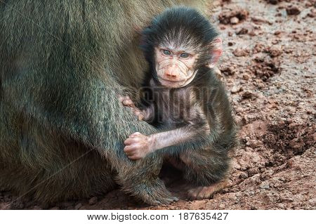 A very close photograph of a baby hamadryas baboon sitting on the ground close to his mother