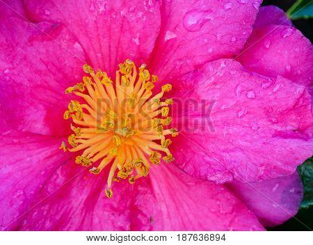 Beautiful Flower Of Camellia Sasanqua At Garden