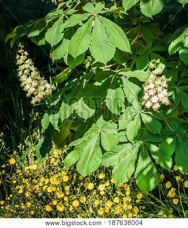 Foliage and flowers of chestnut (Aesculus hippocastanum). Horse-chestnut (Conker tree) flowers, leaf.  Spring blossoming chestnut tree flowers closeup with bee.