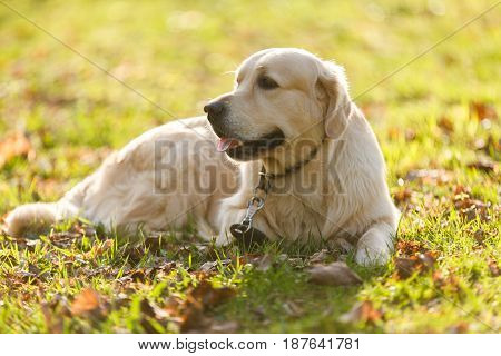 Retriever in collar lies on lawn in park during day