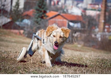 Handicapped dog during a walk climb uphill