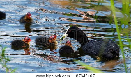 Young Coot with colorfull head - Fulica atra