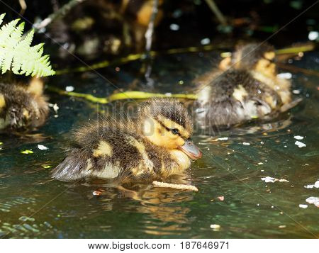 Nice young Mallard duckling - Anas platyrhynchos