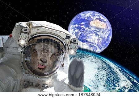 Goat astronaut, showing tongue, in space on a background globe. Elements of this image furnished by NASA.