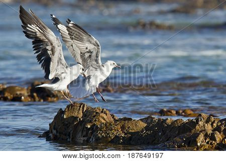 Two seagulls landing on a rock early in the morning sunlight to look for food
