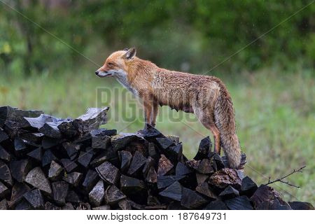 natural female red fox (vulpes vulpes) standing on wood pile in rain