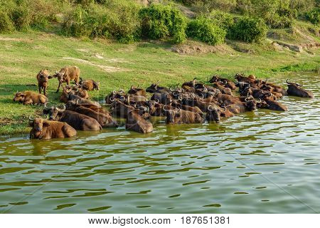 Top view of Buffalo cattle in the river shore