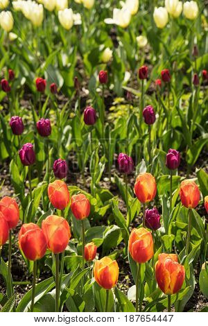 Tulip field with colorful tulips in full bloom in the bright spring