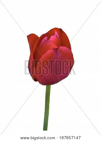 Red tulip isolated on a white background