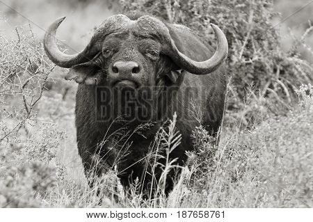 black and white photo of an African buffalo walking through dry grass