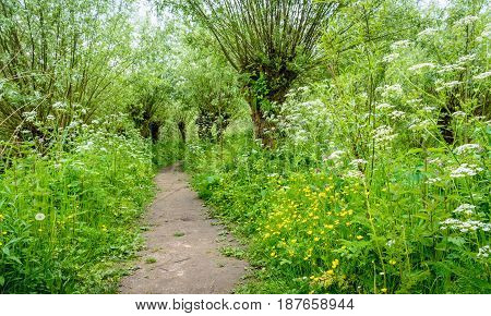 Idyllic path between budding willow trees with fresh young leaves. It's springtime it smells spicy and the colorful wild plants bloom exuberantly.