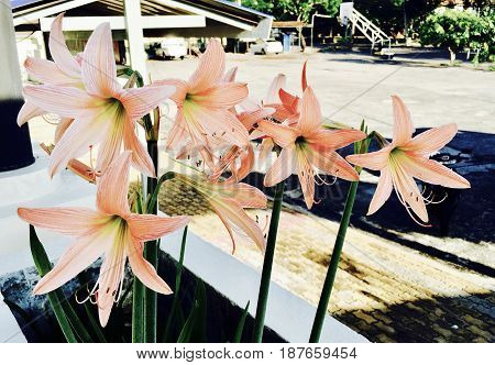 Beautiful Flower Lovely Spring Orange Amaryllis Blossoms or Hippeastrums flowers for Garden Decoration.