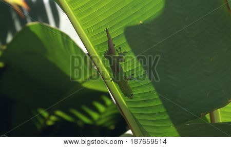 A tropical green gecko that blends into the leaf