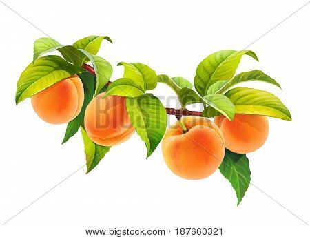 Apricot on branch with leaves, png without background