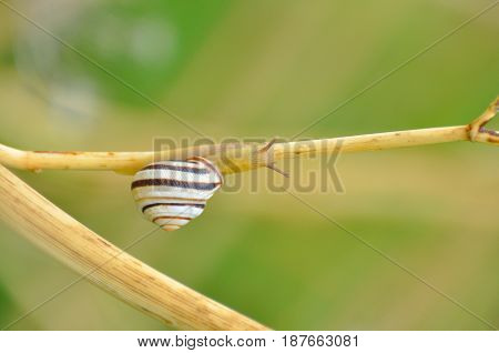 Curious little snail going up on stem, Snail in natural habitat