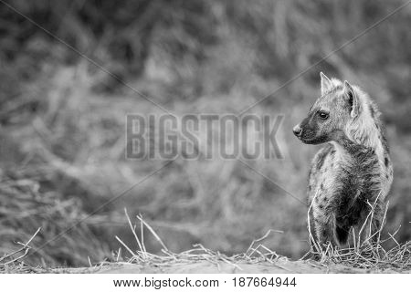 Young Spotted Hyena Starring In Black And White.