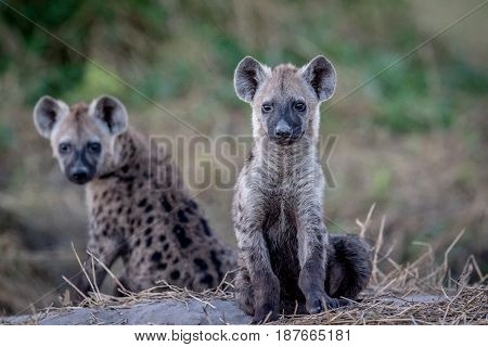 Two Young Spotted Hyenas Sitting Down.