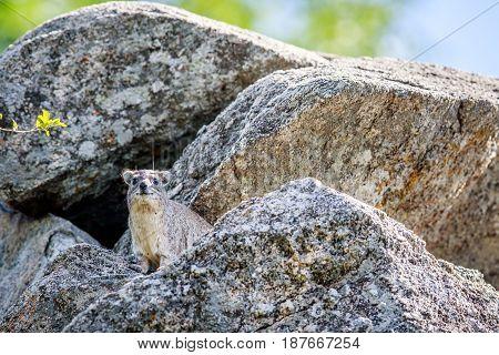 Rock Hyrax Basking On Rocks.