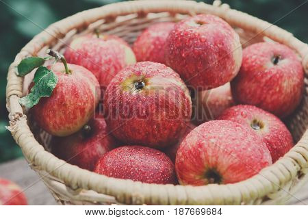 Wicker basket full of red and yellow ripe autumn apples closeup background. Seasonal fruit gathering, fall harvest in apple garden, agriculture and farming concept