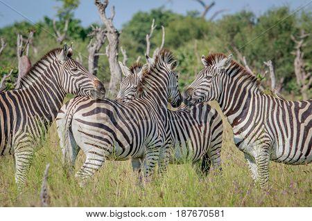 Group Of Bonding Zebras In Chobe.
