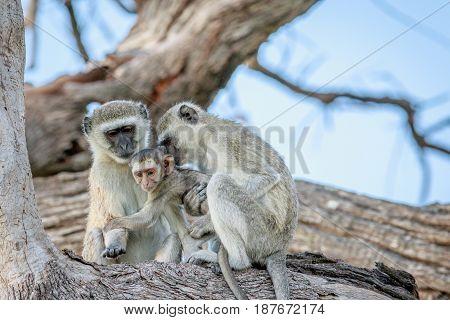 Family Of Vervet Monkeys Sitting In A Tree.