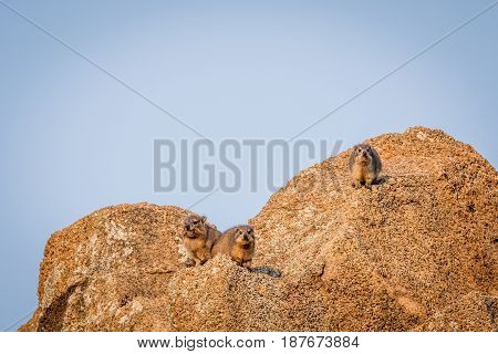 Several Rock Hyraxes Basking In The Sun.