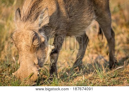Close Up Of An Eating Warthog.