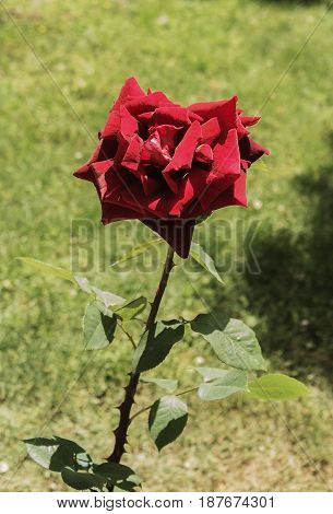 big red rose on a background of green grass