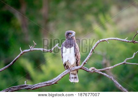 Black-chested Snake Eagle Sitting On A Branch.