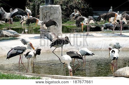 Animal and Wildlife Group of Painted Storks or Ranganathittu Bird Sanctuary in The Park.