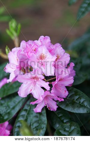Bright pink flowers of rhododendron blooming in the botanical garden