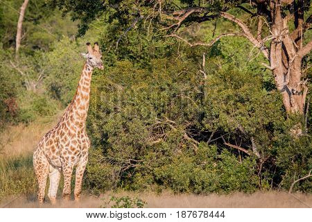 Giraffe Standing In The Grass And Starring.