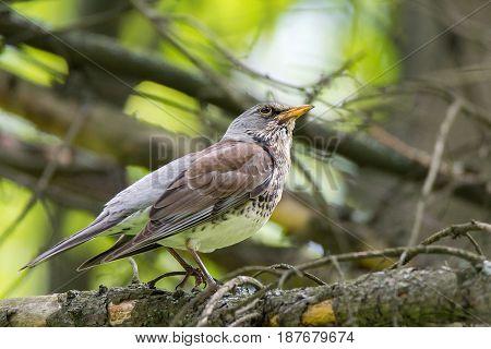 The photo shows a blackbird rowan on a branch