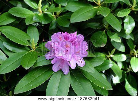 Flowering evergreen shrub rhododendron (Lat.- Rhododendron ponticum)