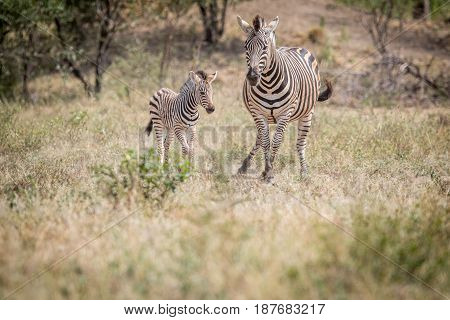 Baby Zebra And Mother Standing In The Grass.