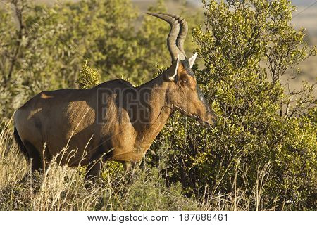 beautiful red Hartebeest standing in early morning light chewing on a piece of grass