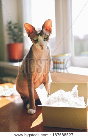 Canadian hairless. Portrait of an adult cat sphinx sitting near a box near the window