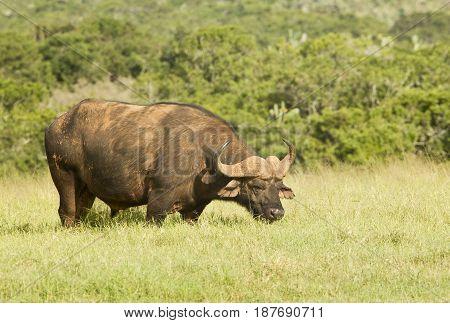 Large beautiful male buffalo standing in green grass grazing in the morning sun