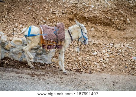 White saddled donkey stands in mountain area the Wadi Qelt in the north of the Judean Desert Israel