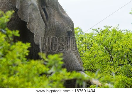 Huge African elephant walking through thick bush and trees
