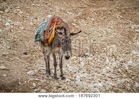 Saddled donkey stands in mountain area the Wadi Qelt in the north of the Judean Desert Israel