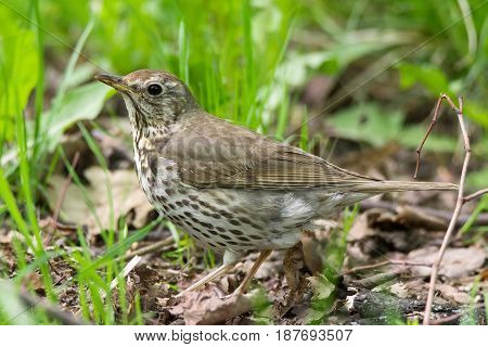 The photo shows a songbird on a grass