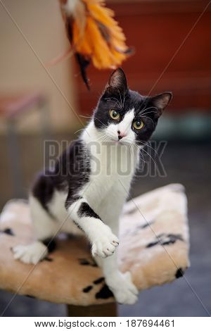 The black-and-white cat plays with a toy.