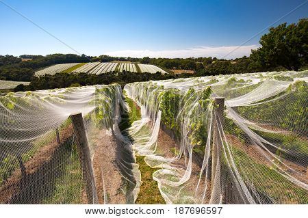 Vines of wine grapes under netting towards end of season in the Mornington Peninsula, Victoria, Australia