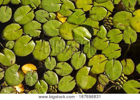 Small lily pads on a pond without flowers in the bright afternoon sun
