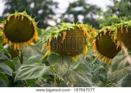 Blooming Big Sunflowers (helianthus Annuus) Plants On Field In Summer Time. Flowering Bright Yellow