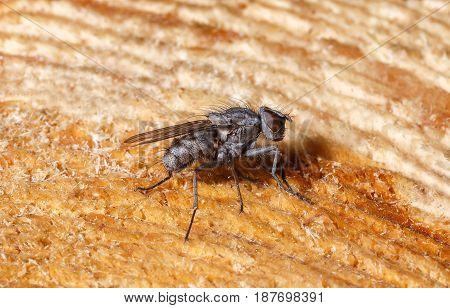 An ordinary fly sits on a freshly cut stump macro