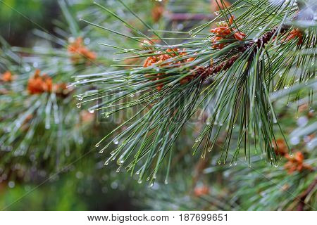 Droplets of rain on the fir-tree needles pine branch with drops of water